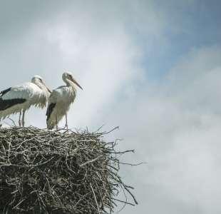 Storks' meal
